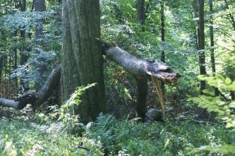 Trzy pomnikowe buki w leśnictwie Lubienia